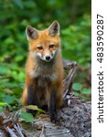 Small photo of Red fox kit in Algonquin Park