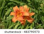 Orange Lily  Orange Daylily ...