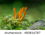 Yellow Stagshorn  Calocera...