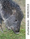 grazing chacoan peccary or... | Shutterstock . vector #483825313