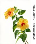 Two Yellow Hibiscus Flowers...