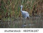 Beautiful Gray Crane Walking ...