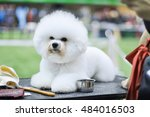 snow white fluffy dog  bichon... | Shutterstock . vector #484016503