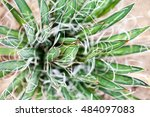 Small photo of Agave parviflora plant in botanical garden in Balchik, Bulgaria