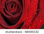Macro Of Red Rose Bloom With...