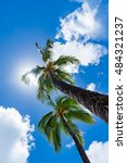 coconut palm in hawaii  usa. | Shutterstock . vector #484321237
