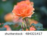 Stock photo blooming orange colored rose in garden with background blur 484321417