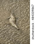 Small photo of American Crocodile, Tarcoles River, Costa Rica