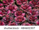 Red Cabbage In Garden