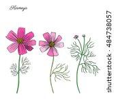 kosmos flower  kosmeya hand... | Shutterstock .eps vector #484738057