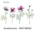 kosmos flower  kosmeya hand...   Shutterstock .eps vector #484738063
