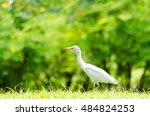 a egret has finding victim for... | Shutterstock . vector #484824253