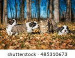 Stock photo litter of saint bernard puppies playing with a cat in autumn 485310673