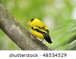 Small photo of Northern african golden oriole perched on a branch