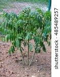 Small photo of SERDANG, MALAYSIA -JULY 29, 2016: Ambarella tree or jew plum tree also known the scientific name as Spondias Cytherea.