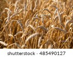wheat field   texture | Shutterstock . vector #485490127
