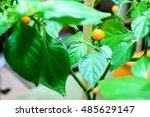 Small photo of Aji Charapa, Charapita,Wild Peruvian Chili Pepper or Lost Incan Pepper.Wild and small ripe orange chilli in greenhouse,Finland.Originating from the northern region of the Peruvian jungle. Rare species