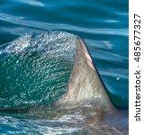 shark fin above water. closeup... | Shutterstock . vector #485677327