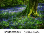 A Carpet Of Bluebells Spreads...