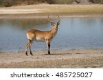 Red Lechwe In Water In Moremi...