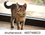 Tortoiseshell Kitten Standing...