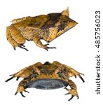 spix's horned treefrog ...   Shutterstock . vector #485756023