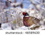 Small photo of Male Pheasant in the snow (Phasianus colchicus mongolicus).