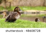 Female Of Common Pochard  ...