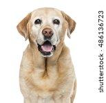 Close Up Of Labrador Retriever...