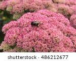 Bee  Anthophila  Pollinating...