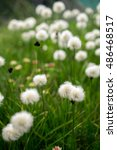 Small photo of Field of cottongrass in the mountains
