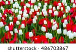 Field Of Tulips. Red And White...