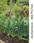 Small photo of Home Grown Leeks (Allium ampeloprasum) Growing on an Allotment in a Vegetable Garden in Devon, England, UK