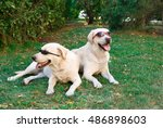 Two Funny Dogs Labrador...