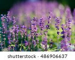 Stock photo natural flower background amazing nature view of purple flowers blooming in garden under sunlight 486906637