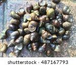 River Snail  Pond Snail