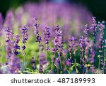 Stock photo natural flower background amazing nature view of purple flowers blooming in garden under sunlight 487189993