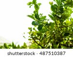 Green Leaves Of Lime Tree Unde...