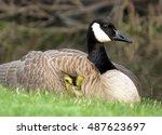 Baby Canada Goose Gosling...