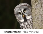 great grey owl  also tawny... | Shutterstock . vector #487744843