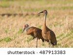 A Pair Of Sandhill Cranes  Gru...