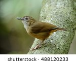 Small photo of Abbott's babbler (malacocinda abbotti) beautiful brown bird perching on the log with lovely stances, fascinated nature