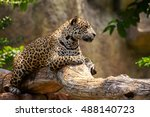 Jaguar On A Branch And Looking...