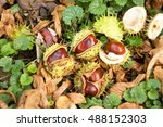 Fresh Conkers From Horse...