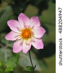 "Small photo of Pink collarette dahlia variety called ""Alpen Diamond"""