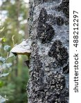 Small photo of Basidiomycota mushroom growing on the tree