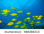 Flock Of Yellow Fish Flowing I...