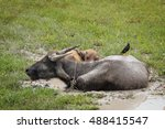 Small photo of Two Buffalos Relax in The Mud with The Acridotheres Cling its Back