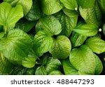 Beautiful Green Betel Leaves...