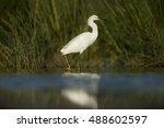 A Snowy Egret Searches For Foo...